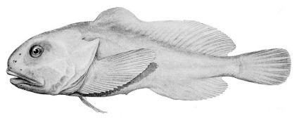 Reconstitution artistique d'un Blobfish de profil