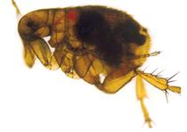 Puce bloquée par Yersinia pestis