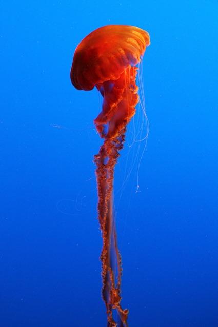 Méduse noire géante, Chrysaora achlyos
