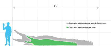 Crcodylus niloticus