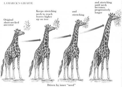 Scénario de l'élongation progressive du cou des girafes selon Lamarck
