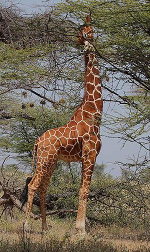 Girafe qui broute les feuilles du haut