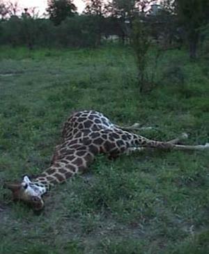 Girafe mâle tué par un combat de necking