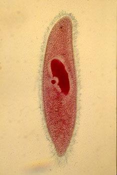 Paramécie avec macronucleus et micronucleusjpg