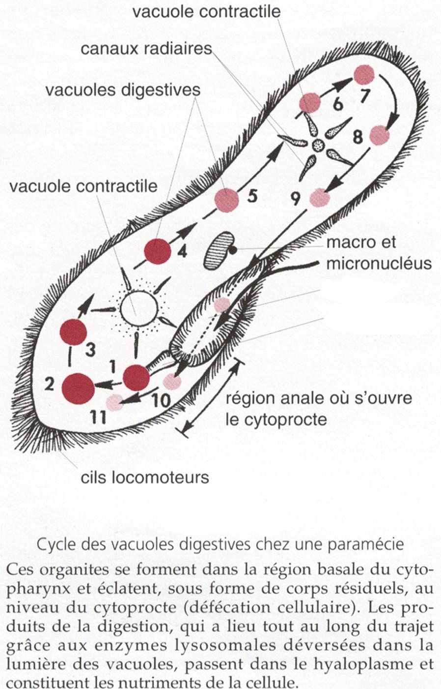 Système digestif cellulaire de la Paramécie