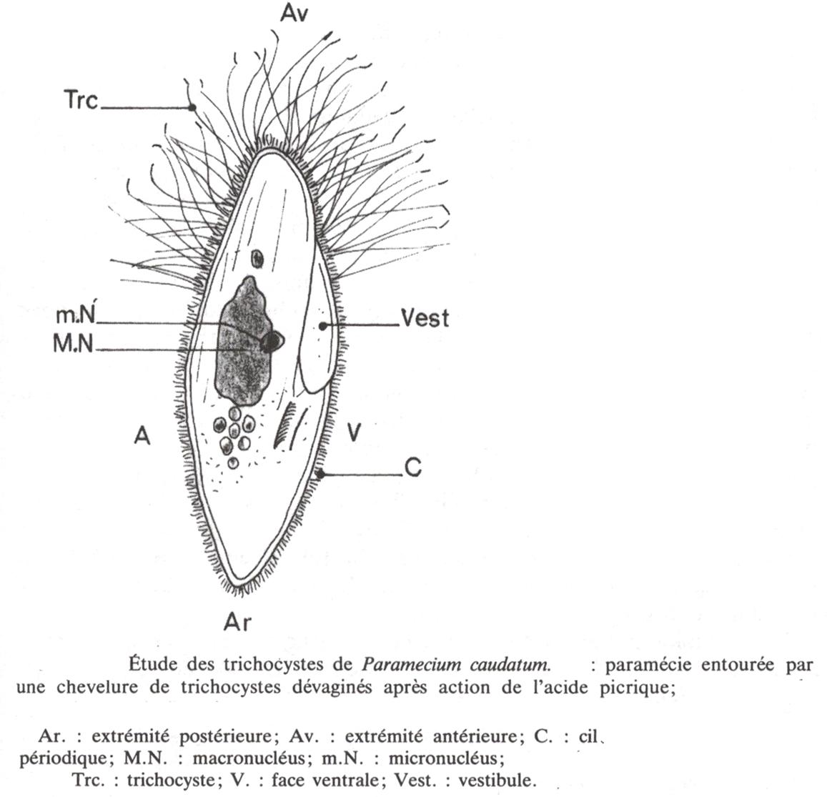 Trichocyste