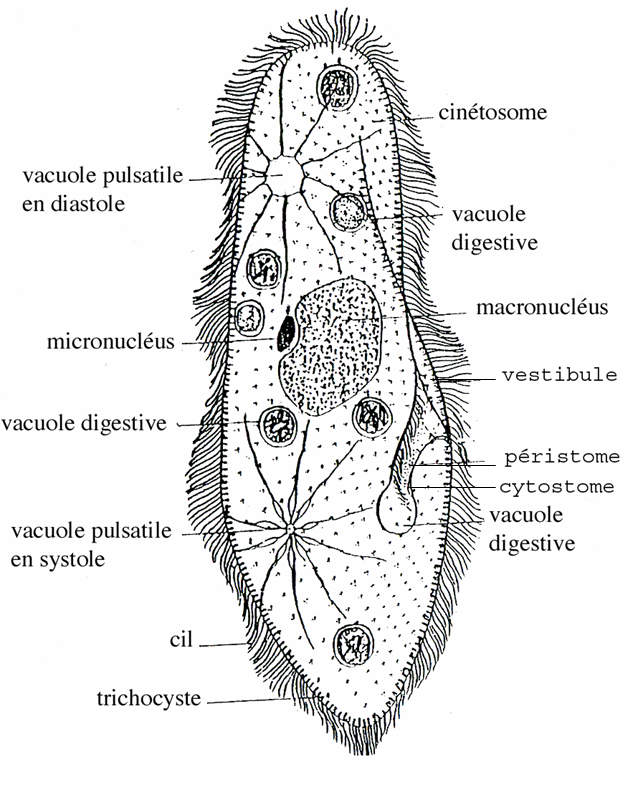 Paramecium Diagram Labeled furthermore 3923897 in addition Rhtermite additionally Igcse Biology also Paramecium Diagrams Hd. on amoeba diagram labeled