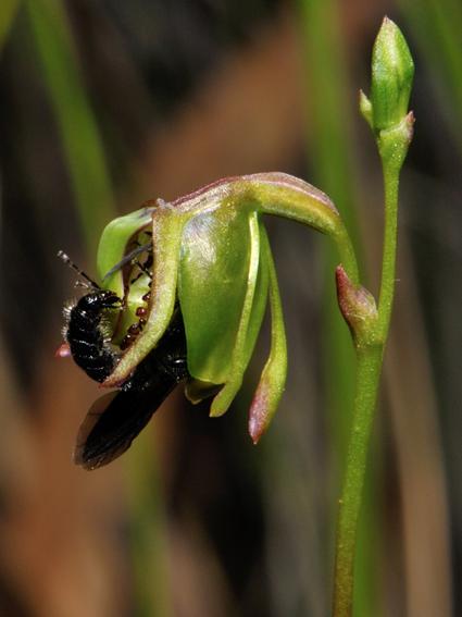 T. armiger est coincé dans la fleur