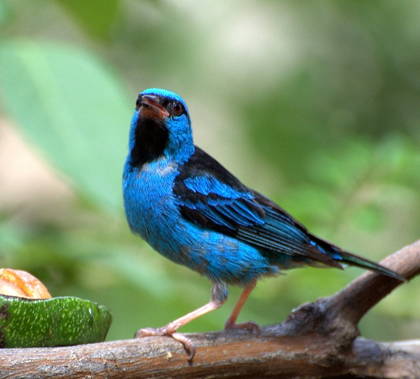 Dacnis cayana, Male