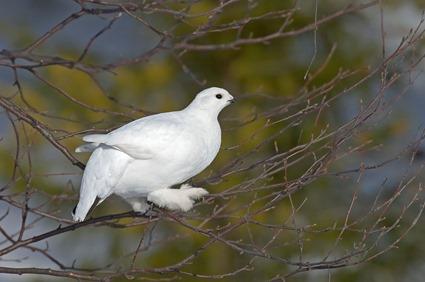 Lagopus lagopus, plumage d'hiver
