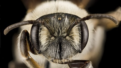 Andrena barbara
