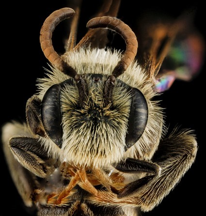 Andrena salictaria