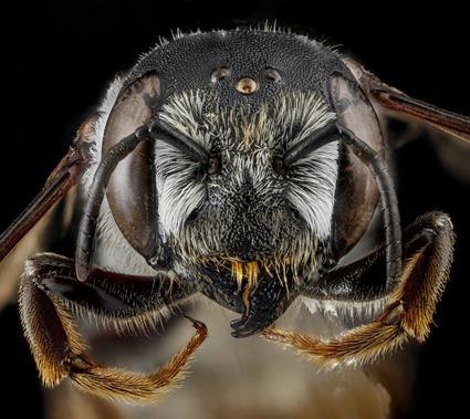 Megachile inimica