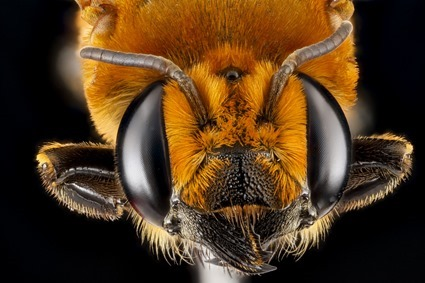 Megachile lanata