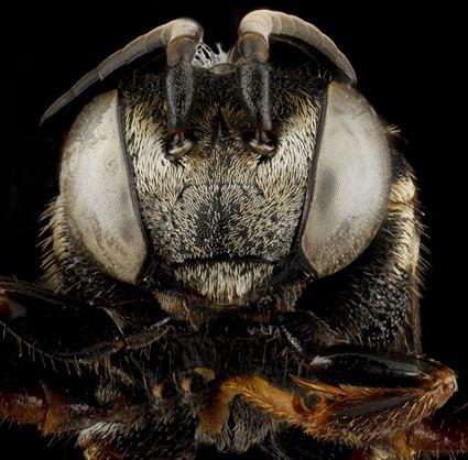 Triepeolus pectoralis
