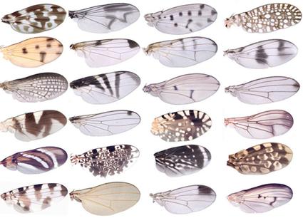 Différentes ailes de mouches Acalyptratae, Nicolas Gompel