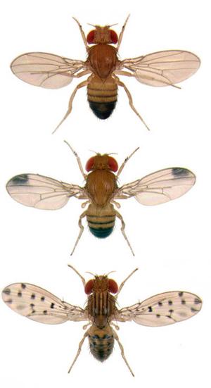 Drosophila melanogaster Drosophila biarmipes Drosophila guttifera, Nicolas Gompel