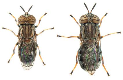 Orthonevra nitida, Mâle à gauche, Femelle à droite, Nicolas Gompel