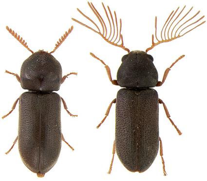 Ptilinus sp., femelle à gauche, mâle à droite, Nicolas Gompel