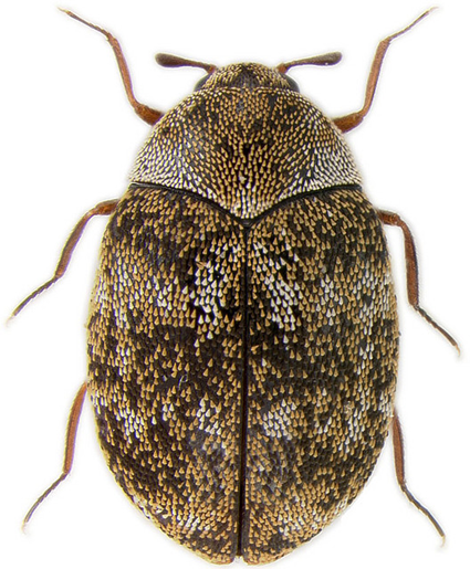 Anthrenus sp., Nicolas Gompel