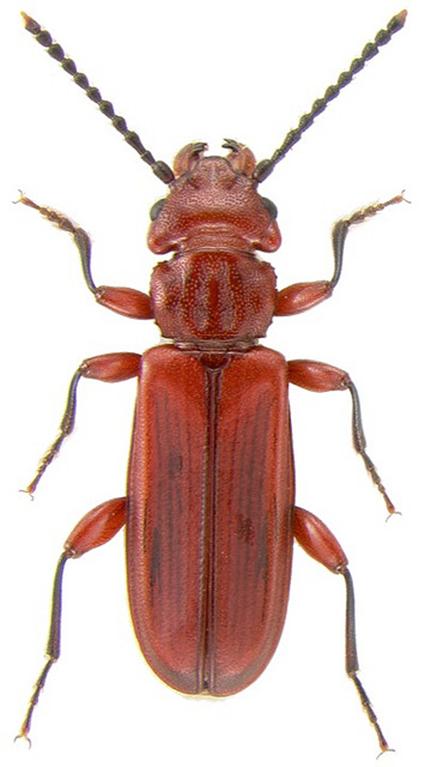 Cucujus clavipes, Nicolas Gompel
