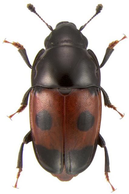 Glischrochilus sanguinolentus, Nicolas Gompel
