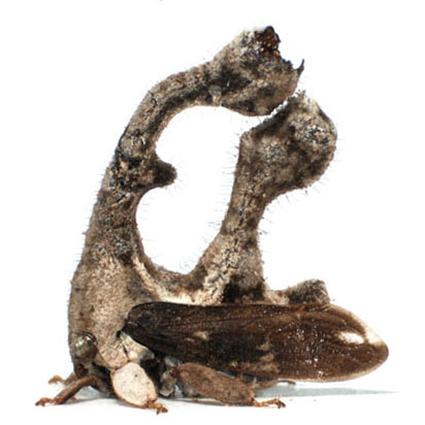 sphongophorus, Nicolas Gompel