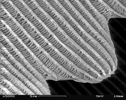 750px-SEM_image_of_a_Peacock_wing,_slant_view_4