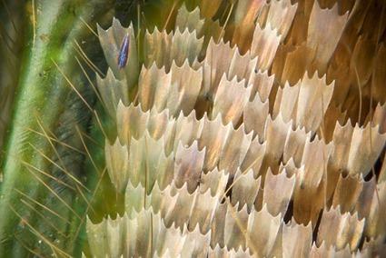 Graphium weiskei arfakensis, Linden Gledhill (3)