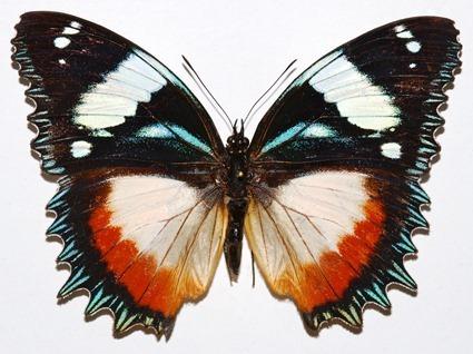 Hypolimnas dexithea, Bernard Dupont