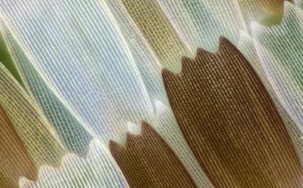 Salamis parhassus, Linden Gledhill (4)