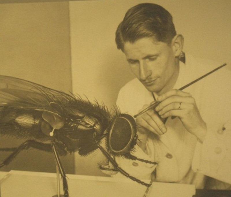 Musca domestica, Alfred Keller (3)