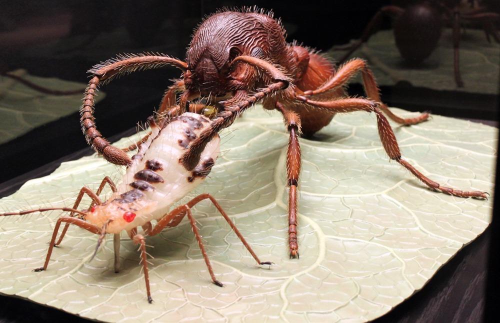Myrmica rubra et puceron, Alfred Keller (3)