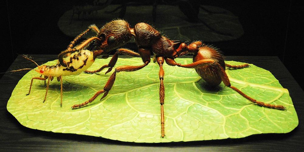 Myrmica rubra et puceron, Alfred Keller