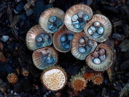 Cyathus novaezelandiae, Steve Axford