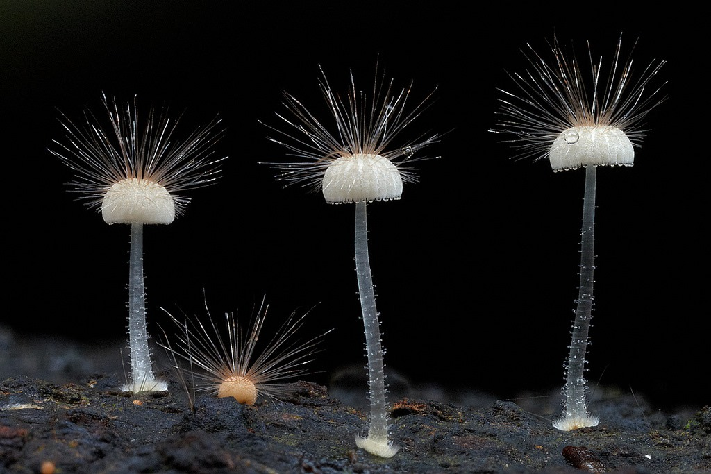 Hairy mycena, Steve Axford