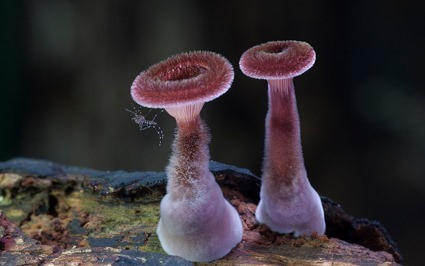 Panus fasciatus, Steve Axford