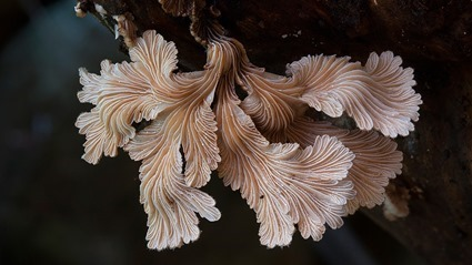 Schizophyllum commune (2), Steve Axford