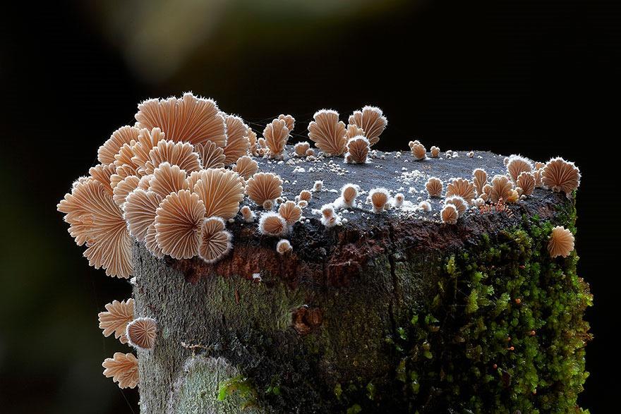 Schizophyllum commune, Steve Axford