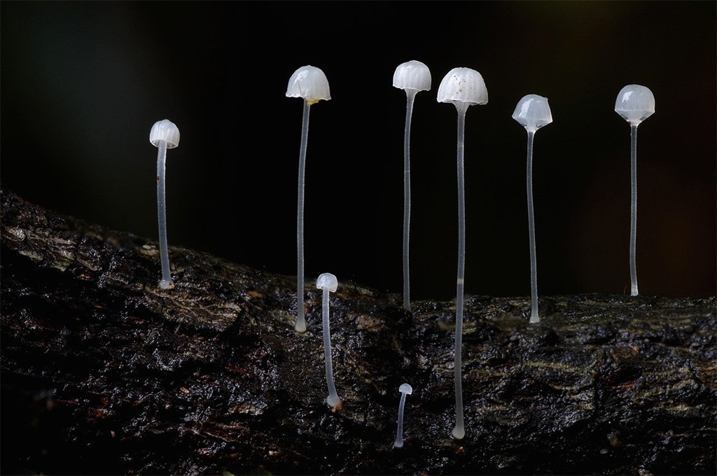 White mycena (2), Steve Axford