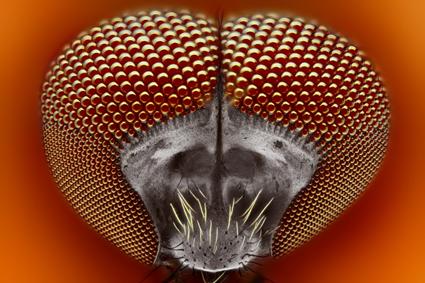Simuliidae, Tomas Rak