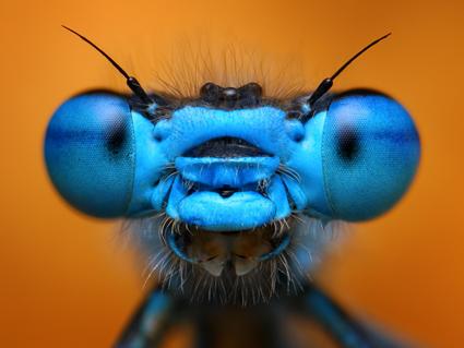 Blue damselfly, Tomas Rak