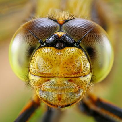 Dragonfly, Tomas Rak
