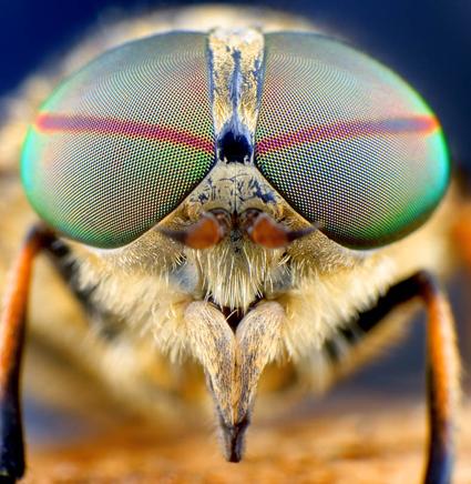Horsefly, Tomas Rak