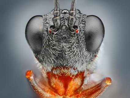 Small black wasp, Tomas Rak