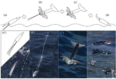 Phases du vol des calmars volants