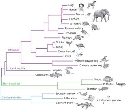 Arbre phylogénétique replaçant les coelacanthes parmi les vertébrés