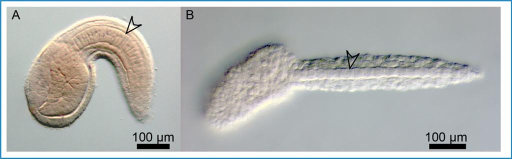 Comparaison entre larve de Ciona intestinalis et Oikopleura dioica
