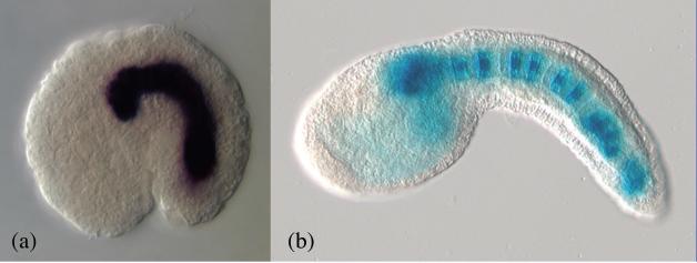 Expression du gène Brachyury chez Oikopleura dioica et Ciona intestinalis