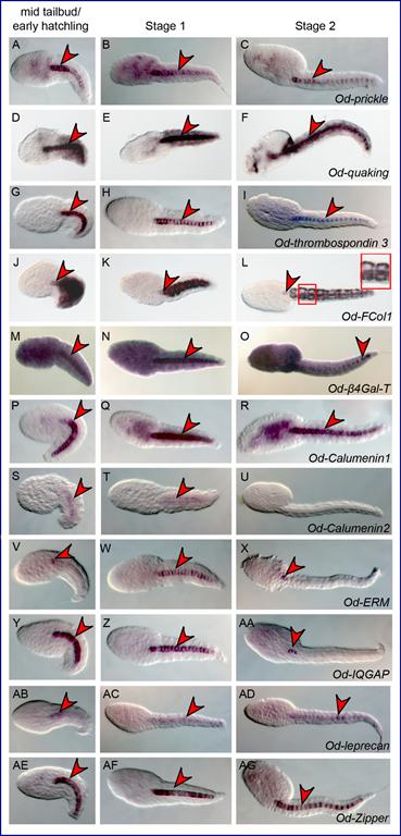 Gènes notochordaux chez Oikopleura